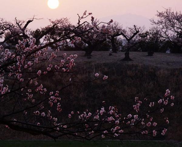 梅畑の夜明け