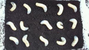 カブトの幼虫たち