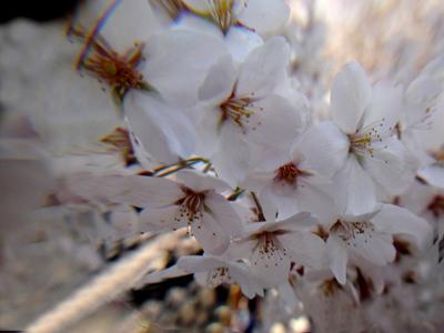 千鳥が淵と靖国神社でお花見