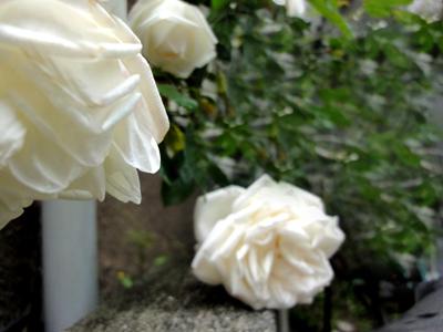 大好きな白いバラ