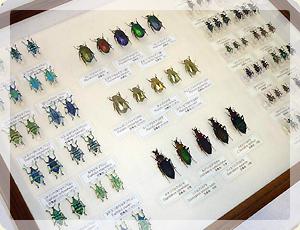 昆虫標本_1
