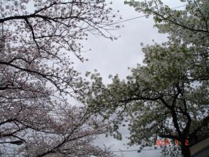 田向公園の通りの桜2