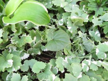 原種シクラメン コウム の葉