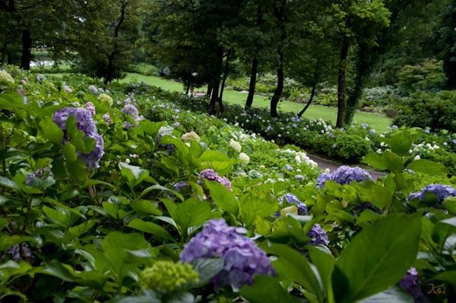 20120706アジサイ_荻窪公園06