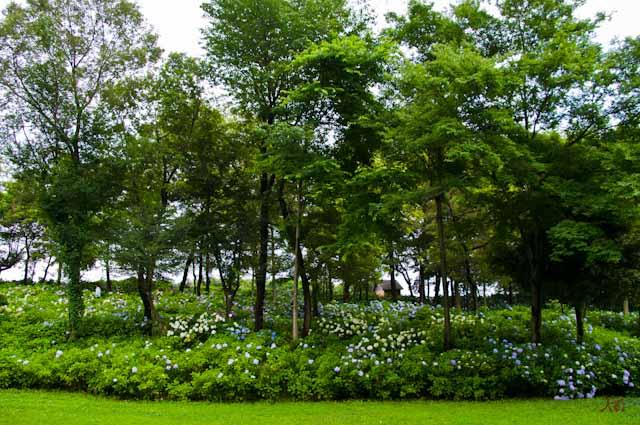 20120706アジサイ_荻窪公園02