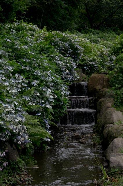 20120706アジサイ_荻窪公園05