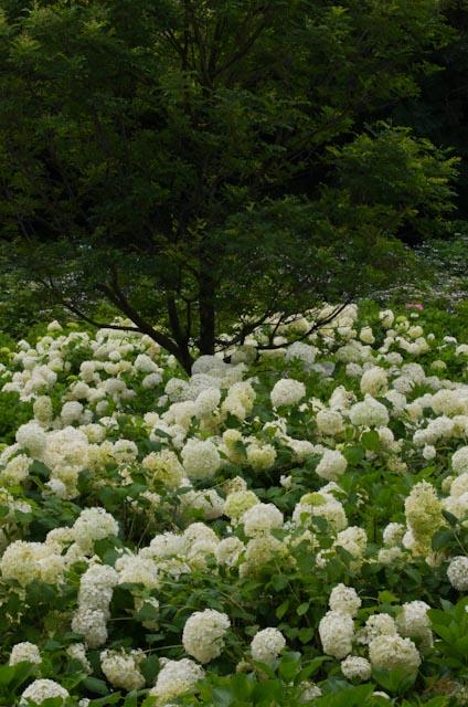 20120706アジサイ_荻窪公園04
