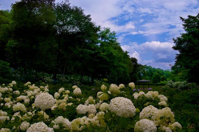 20120706アジサイ_荻窪公園01