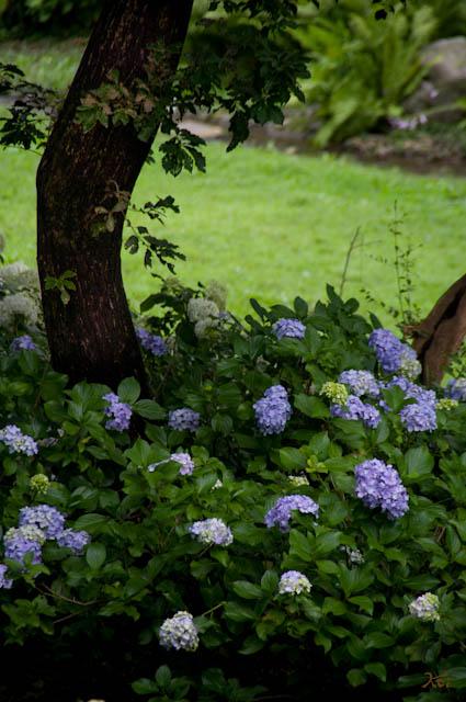 20120706アジサイ_荻窪公園07