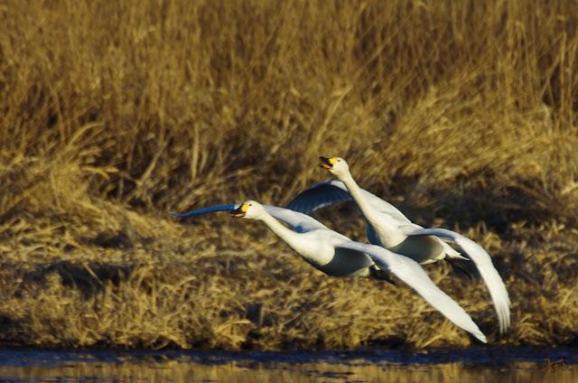 20121224白鳥3