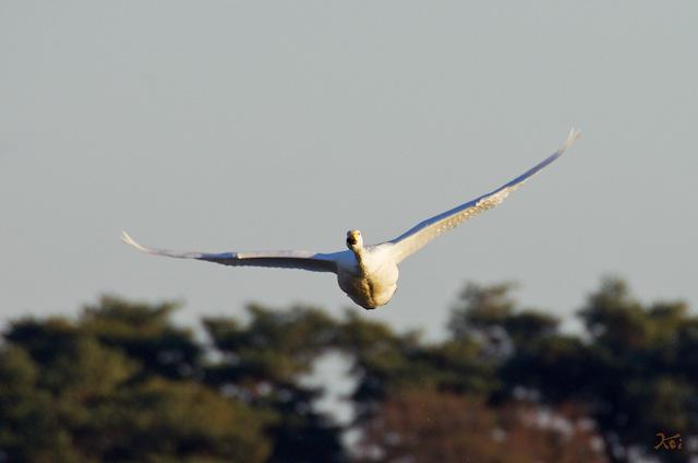 20121224白鳥4