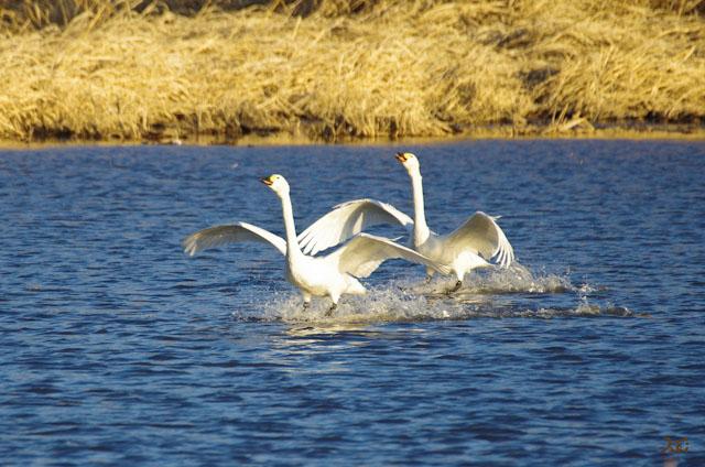 20121224白鳥5