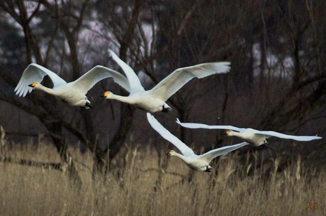 20121224白鳥1