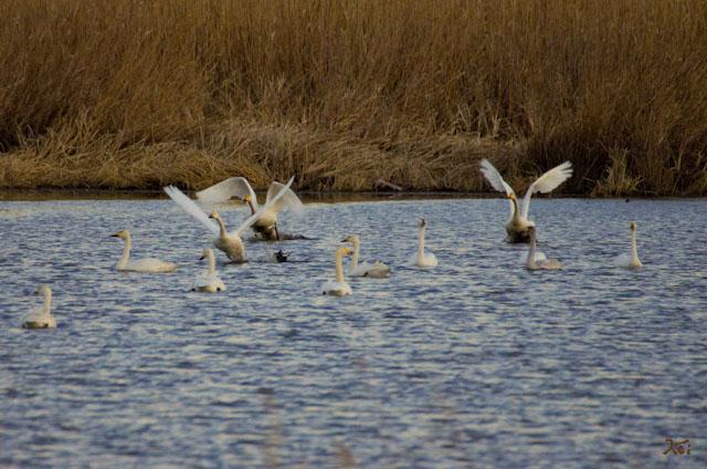 20121224白鳥7