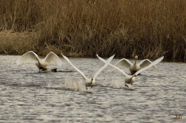 20121224白鳥9