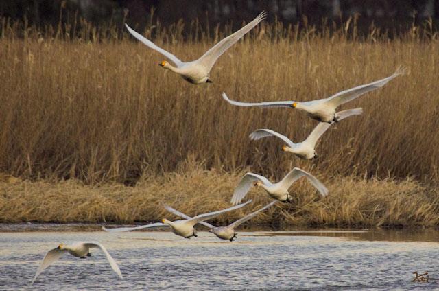 20121224白鳥10