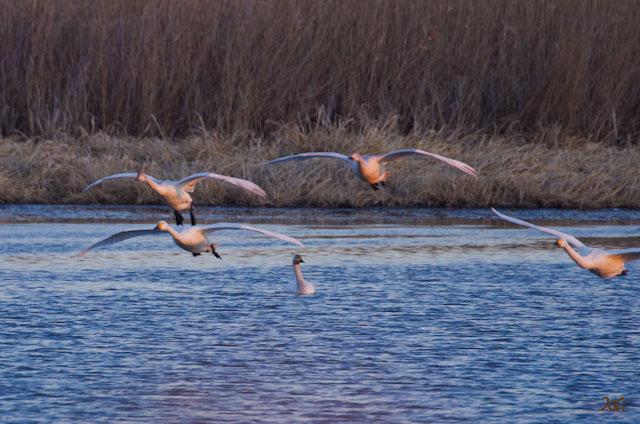 20121224白鳥6