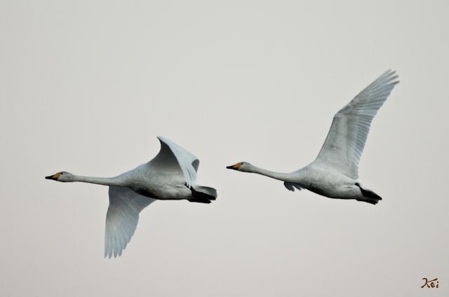 20121224白鳥11