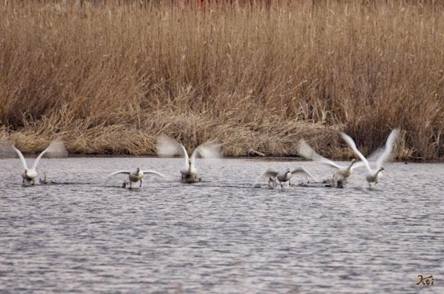 20121224白鳥12