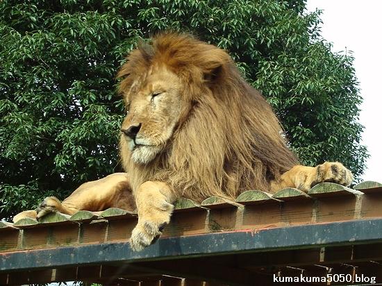 ライオン_310