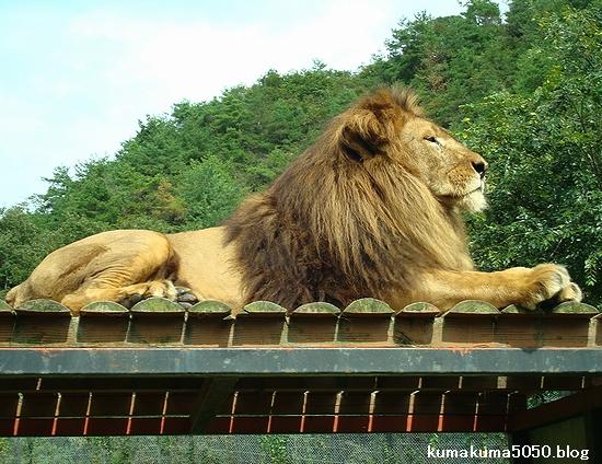 ライオン_308