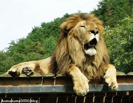 ライオン_307