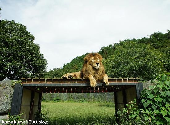 ライオン_305
