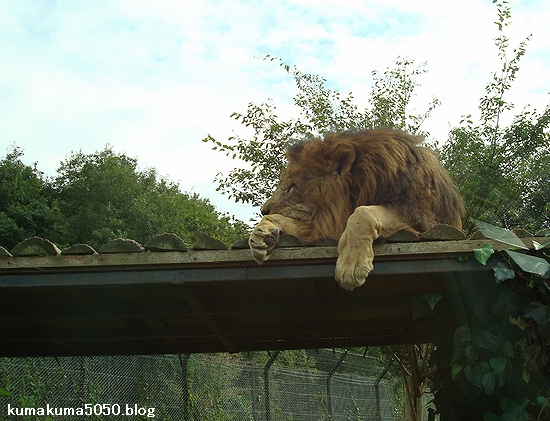 ライオン_314
