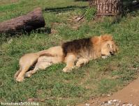 ライオン_337