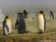 キングペンギン_6