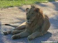 ライオン_354