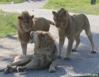 ライオン_363
