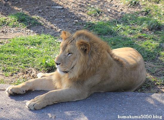 ライオン_373