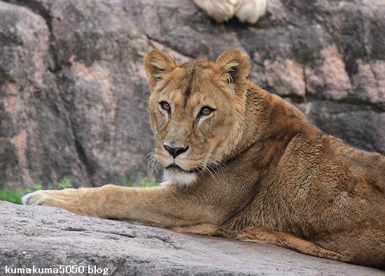 ライオン_451