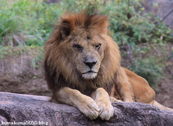 ライオン_450