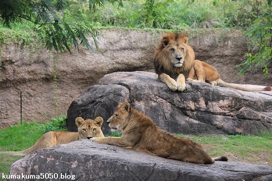 ライオン_448