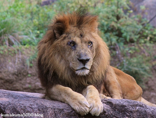 ライオン_449