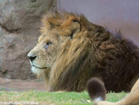 ライオン_447
