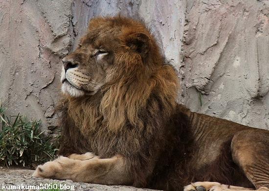 ライオン_464