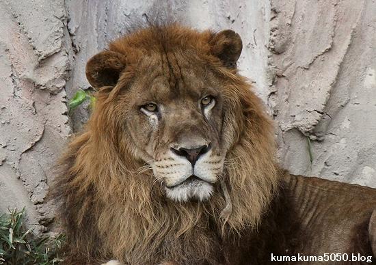 ライオン_463