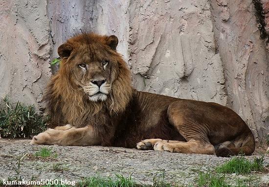 ライオン_462