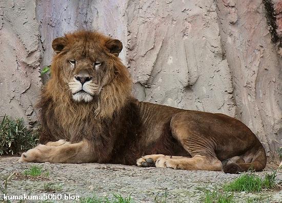 ライオン_473
