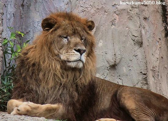 ライオン_475