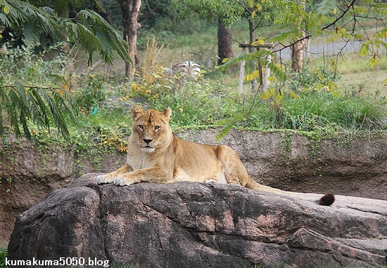 ライオン_482