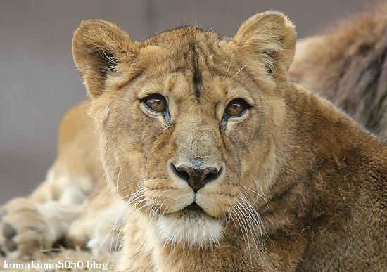 ライオン_488
