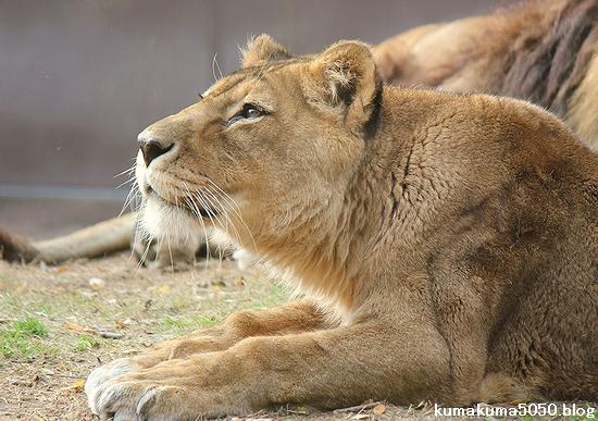 ライオン_487