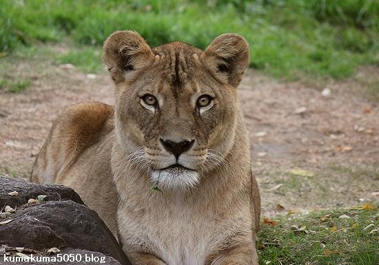 ライオン_509