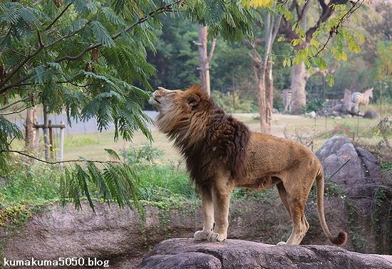 ライオン_505