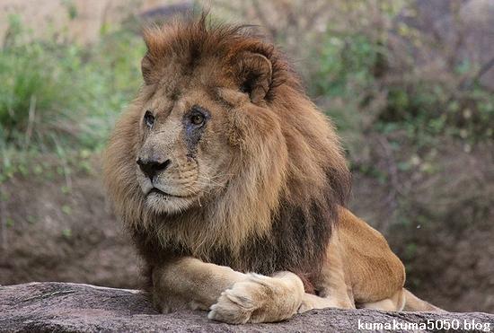 ライオン_512