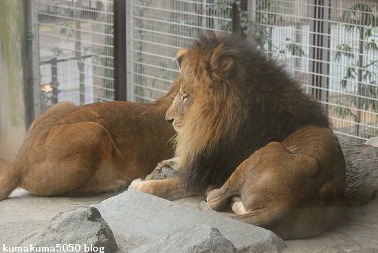 ライオン_516